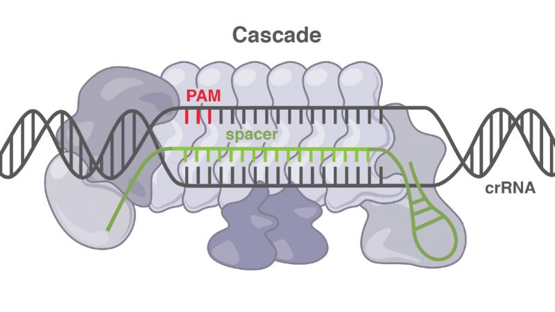 Cascade CRISPR System